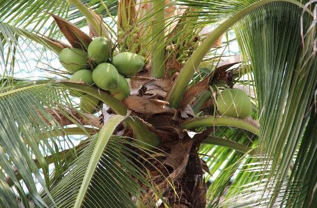 Photo d'un palmier dans une forêt de noix de coco vertes, en Thailande - d'où vient Arrrumpf donne des ailes ?